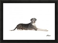 Great Dane Dog Picture Frame print