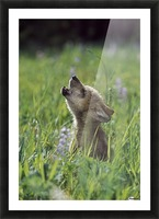 Wolf Puppy Howling In Mountain Meadow Picture Frame print