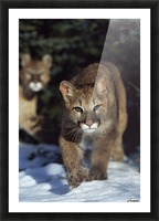 Mountain lion cub (Felis concolor) walking on snow toward camera, mother in background; Montana, Usa Picture Frame print