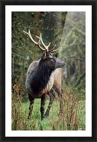 Roosevelt Elk (Cervus Canadensis Roosevelti); Olympic National Park, Washington, Usa Picture Frame print