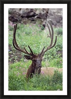 Bull Elk Resting In Alpine Meadow With Antlers In Velvet; Yellowstone National Park, Wyoming, Usa Picture Frame print