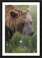 Grizzly Bear Wet From Rain Picture Frame print