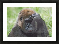 Western Gorilla Portrait With Finger On Brow As If Thinking, Africa Picture Frame print
