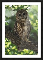 Mexican Spotted Owl On Perch In Gambel Oak Picture Frame print