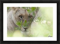Lioness, Kenya, Africa Picture Frame print