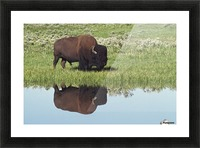 Bison (Bison Bison) On Grassy Meadow With Reflection In Pool Picture Frame print