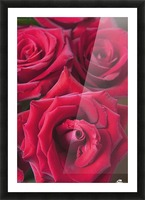 Red Roses; Quebec, Canada Picture Frame print