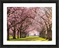 Cherry Blossom in a Park Picture Frame print