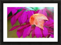 Oregon, United States Of America; A Red Leaf Laying On Bright Pink Leaves Picture Frame print