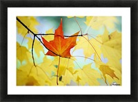 Oregon, United States Of America; An Orange Leaf Fallen On Yellow Leaves Picture Frame print