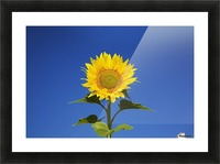 Laval, Quebec, Canada; Sunflower (Helianthus Annuus) Against A Blue Sky Picture Frame print