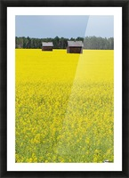 Alberta, Canada; Two Wooden Shacks In A Canola Field Picture Frame print