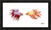 Two Colorful Fish With Long Fins Picture Frame print