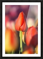 Woodburn, Oregon, United States Of America; Close Up Of A Closed Tulip Picture Frame print