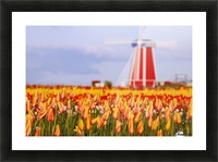 Woodburn, Oregon, United States Of America; A Field Of Tulips And A Windmill At Wooden Shoe Tulip Farm Picture Frame print