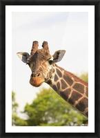 Buenos Aires, Argentina; Giraffe (Giraffa Camelopardalis) In Palermo Zoological Gardens Picture Frame print