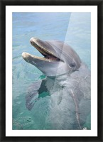 Roatan, Bay Islands, Honduras; A Bottlenose Dolphin (Tursiops Truncatus) In The Water At Anthony's Key Resort Picture Frame print