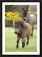 Northumberland, England; Two Ponies Running In A Field Picture Frame print