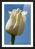 A White Tulip Against A Blue Sky; Northumberland, England Picture Frame print
