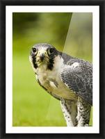 Peregrine Falcon (Falco Peregrinus); Windermere, Cumbria, England Picture Frame print