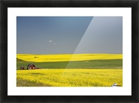 Flowering Canola Fields And A Red Barn; Alberta, Canada Picture Frame print