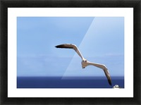 Gannet Flying Over The Water; Perce, Quebec, Canada Picture Frame print