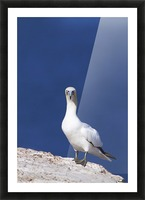 Gannet With An Attitude Staring At The Camera; Perce, Quebec, Canada Picture Frame print