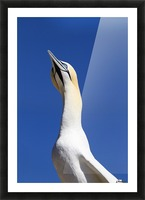 A Single Gannet Searches The Sky For Her Mate On Bonaventure Island; Perce, Quebec, Canada Picture Frame print