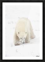 Curious Young Polar Bear (Ursus Maritimus) Exploring; Churchill, Manitoba, Canada Picture Frame print