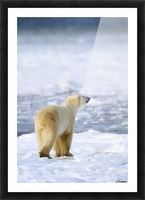 Polar Bear (Ursus Maritimus) Sniffs The Air As He Is On The Hunt For Food; Churchill, Manitoba, Canada Picture Frame print