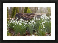 White Flowers Growing On A Forest Floor Beside A Fallen Tree; Dumfries, Scotland Picture Frame print