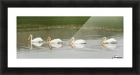 American White Pelicans Swim In A Line On The Yellowstone River; Wyoming, Usa Picture Frame print