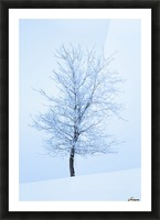 Frost And Snow Cover An Oak Tree; Calgary, Alberta, Canada Picture Frame print