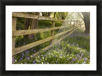 A Wooden Fence In A Forested Area With Blue And White Wildflowers On The Ground; Northumberland, England Picture Frame print
