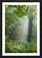 Trees In The Woods In The Early Morning Fog; Iron Hill, Quebec, Canada Picture Frame print