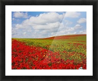 An Abundance Of Red Poppies In A Field; Corbridge, Northumberland, England Picture Frame print