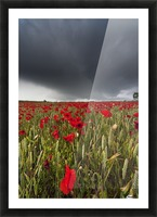 A Field Of Red Poppies Under A Dark Stormy Sky; Northumberland, England Picture Frame print