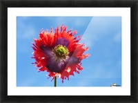 A Colorful Flower With Red And Purple Petals Against A Blue Sky; Northumberland, England Picture Frame print