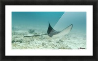 A Spotted Eagle Ray (Aetobatus Narinari)Under The Water; Galapagos, Equador Picture Frame print