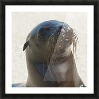 Sea Lion; Galapagos, Equador Picture Frame print