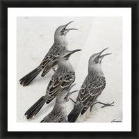 Mockingbirds (Mimidae); Galapagos, Equador Picture Frame print