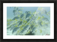 Yellow-Tailed Grunt Fish (Anisotremus Interruptus); Galapagos, Equador Picture Frame print
