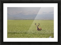 Male Deer With Antlers In A Flowering Pea Field With Mountains And Foothills In The Background; Alberta, Canada Picture Frame print