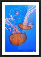 Sea Nettles (Chrysaora Fuscescens) In Monterey Bay Aquarium Display; Monterey, California, United States of America Picture Frame print