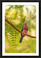 Bearded Barbet (Lybius Dubius) At San Diego Wild Animal Park Near Escondido; California, United States of America Picture Frame print