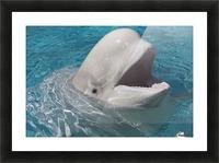 Beluga Whale In Captivity - Marineland - Niagara Falls, Ontario, Canada Picture Frame print