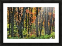 Autumn Sugar Maple, Yellow Birch And Balsam Firtrees. Algonquin Provincial Park, Ontario. Canada. Picture Frame print