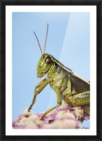 Grasshopper Close-Up. Picture Frame print