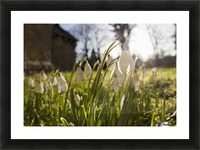 Snowdrop Flowers In The Sunlight; Northumberland, England Picture Frame print