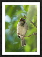 A Sparrow Perched On A Small Branch; Tarifa, Cadiz, Andalusia, Spain Picture Frame print